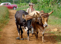 Old methods prevail in the countryside, Vinales (Cuba)