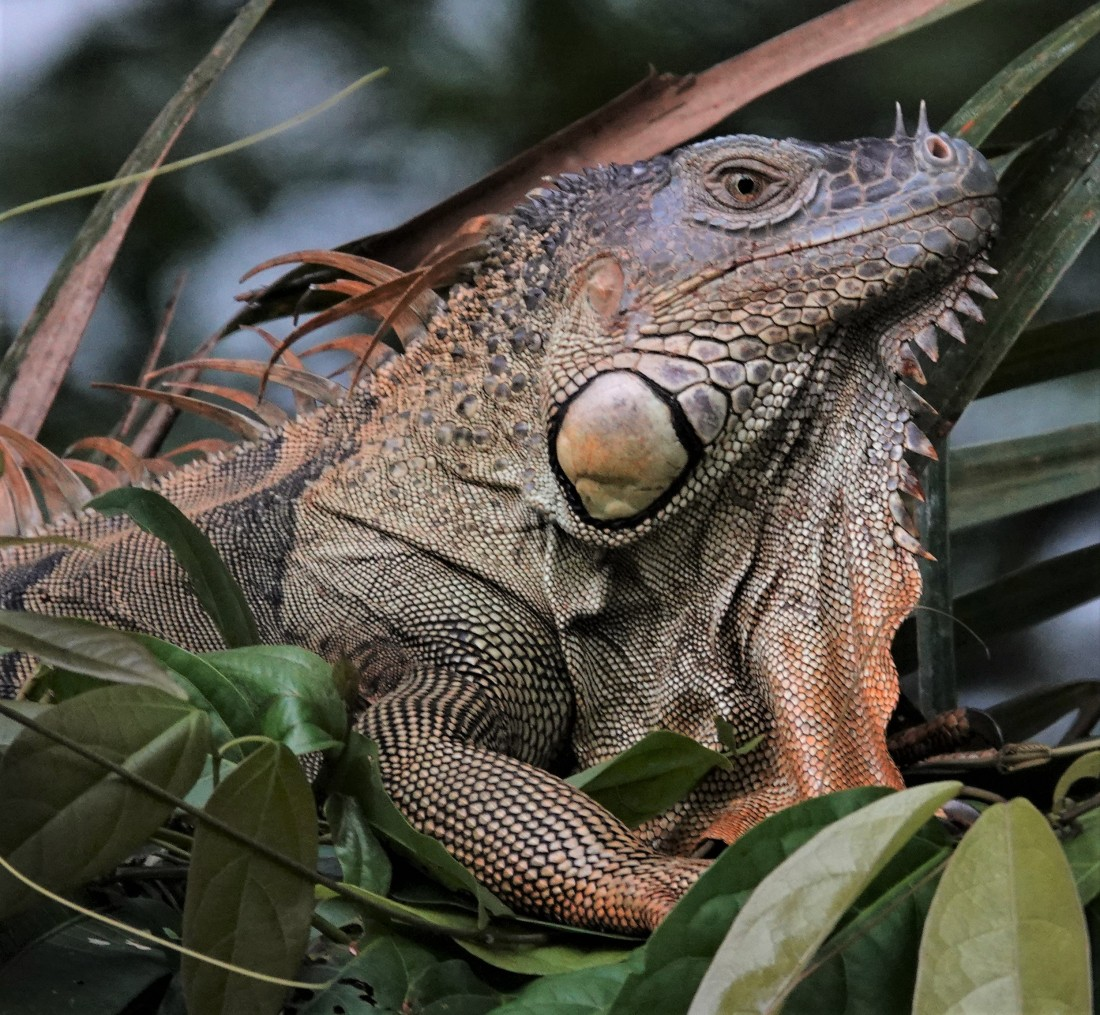 This Iguana looked as it he belonged to the Age of the Dinosaurs