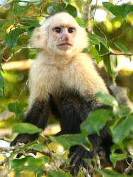 A cheeky Capuchin Monkey