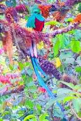A colourful Quetzal