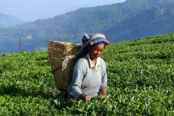 Tea pickers near Pelling, Sikkim