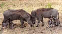 Warthog mums having a chat.