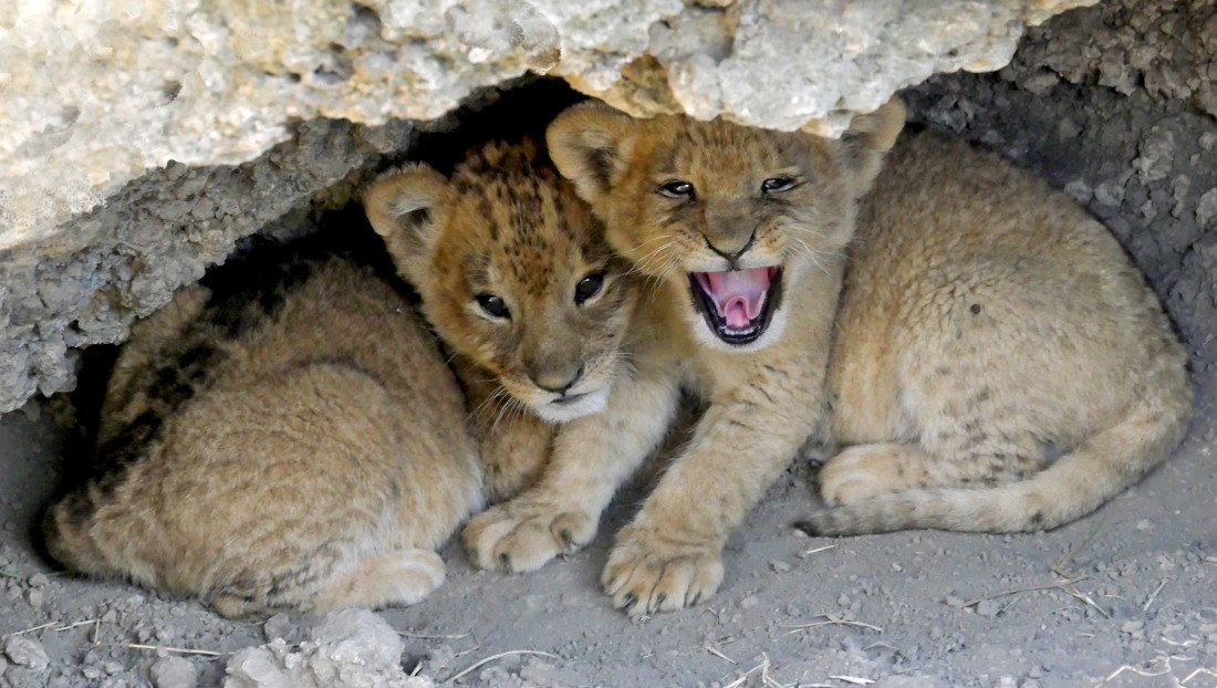 Very tiny lion cubs, hiding in their lair.
