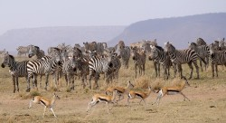 Herds waiting their turn to drink - Central Serengeti