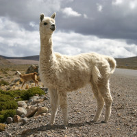 Llamas and alpacas are a common sight,  Peru.