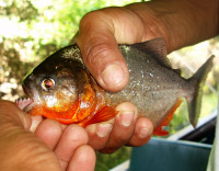 Catching piranha is always exciting,  Peru