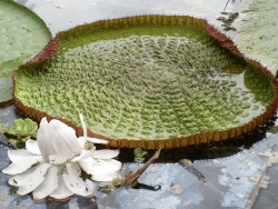 Victoria Amazonica,  the World's largest water lily.