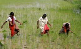 Ladies working in the rice paddy