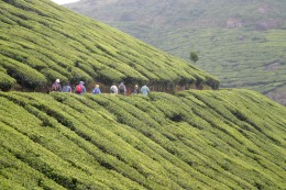 Hiking through the tea plantations near Munnar - Kerala